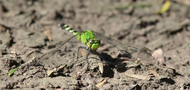 Isn't this a beautiful dragonfly?