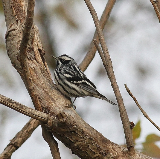 Black-and-white Warbler (2)