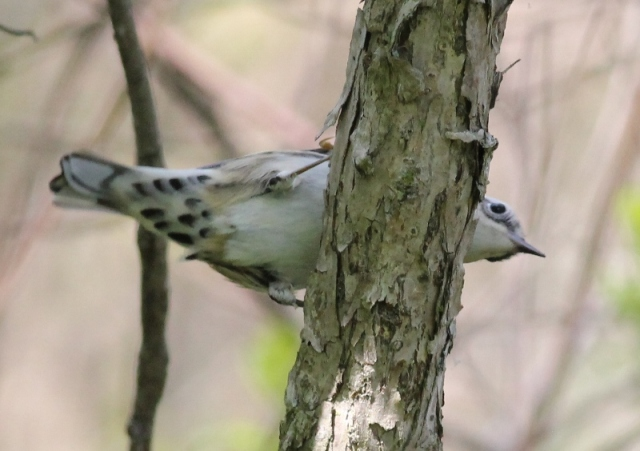 Black-and-white Warbler undertail