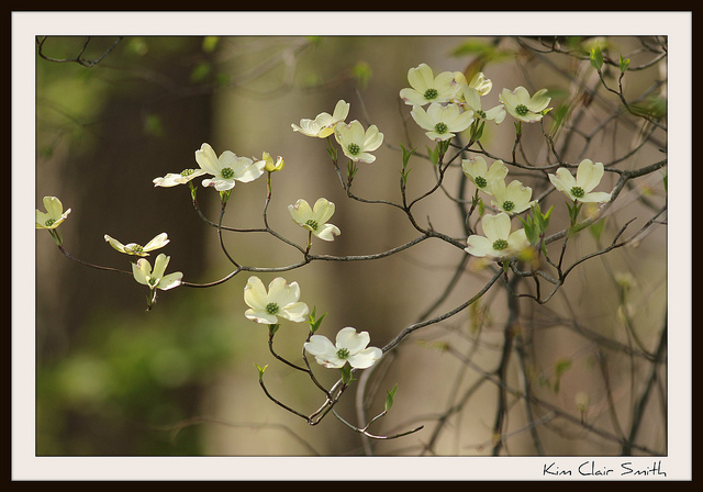 Photo Friday for blog - dogwood blossoms