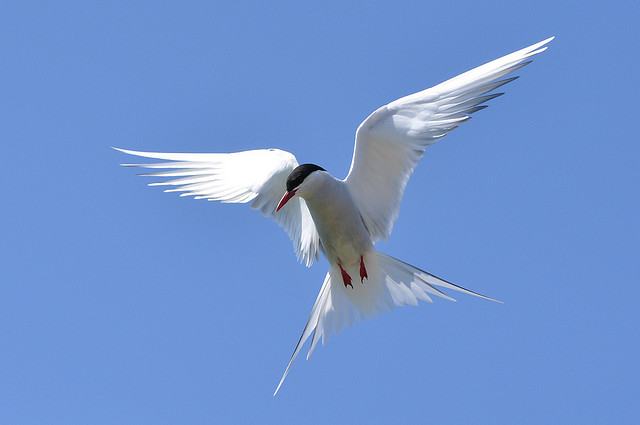 Arctic Tern (Photo by Lindsay Robinson via Flickr Creative Commons)