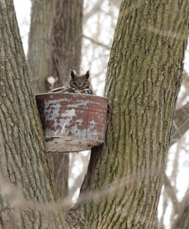 Great Horned Owl in bucket 2015
