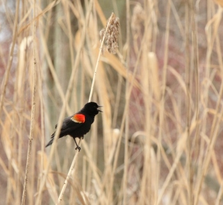 Red-winged blackbird calling