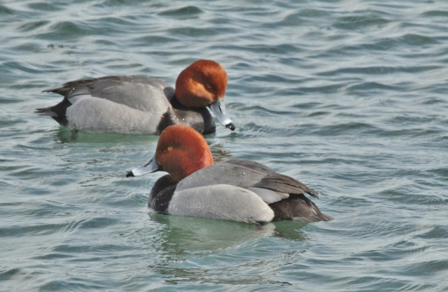 Male Redheads on the St. Clair River