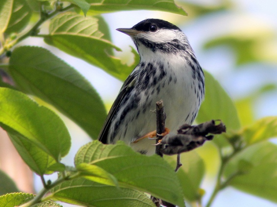 Blackpoll Warbler by Kenneth Cole Schneider (via Creative Commons license on Flickr)