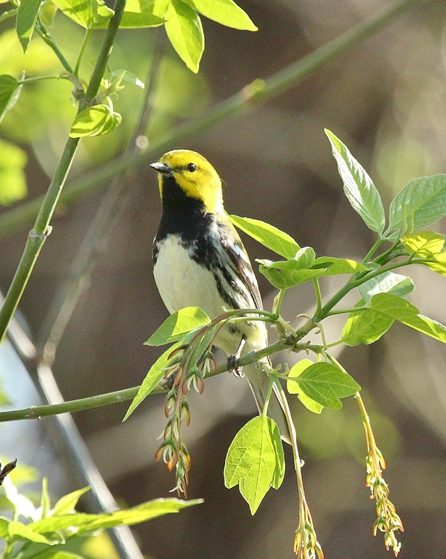 Black-throated Green Warbler at Magee Marsh, May 2, 2015