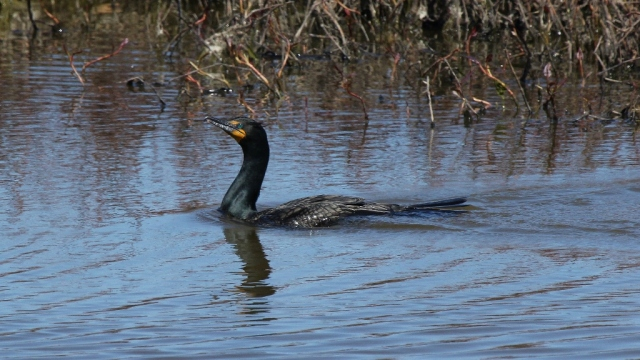 Double-crested Cormorant at Magee Marsh