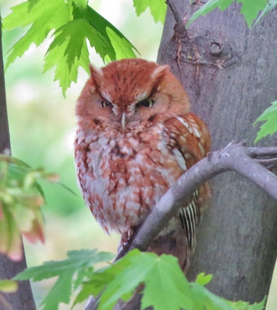 Red morph Eastern Screech-owl