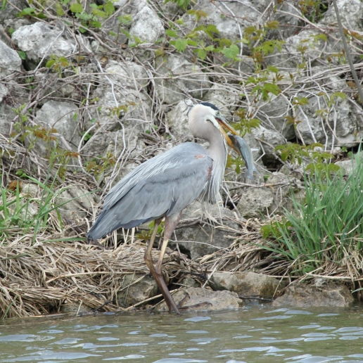 Great Blue Heron eating big fish (1)