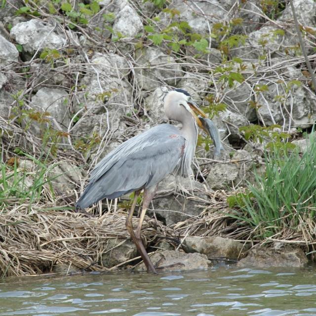 Great Blue Heron eating big fish (1)