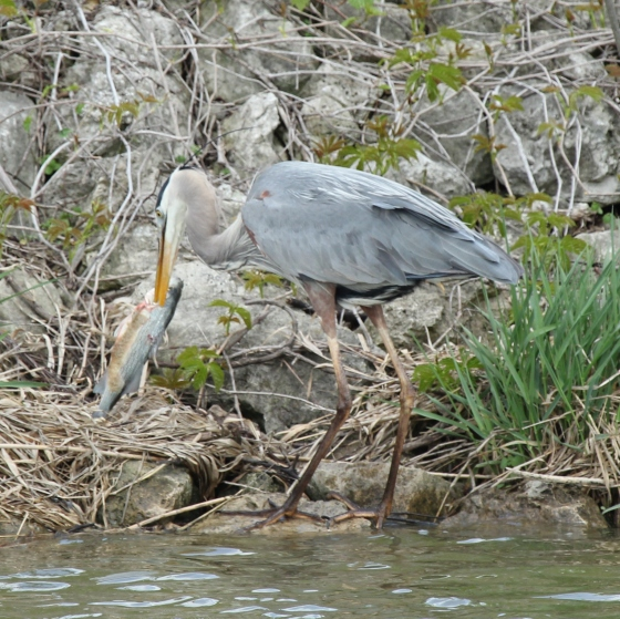 Great Blue Heron eating big fish (17)