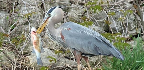 Great Blue Heron eating big fish (22)