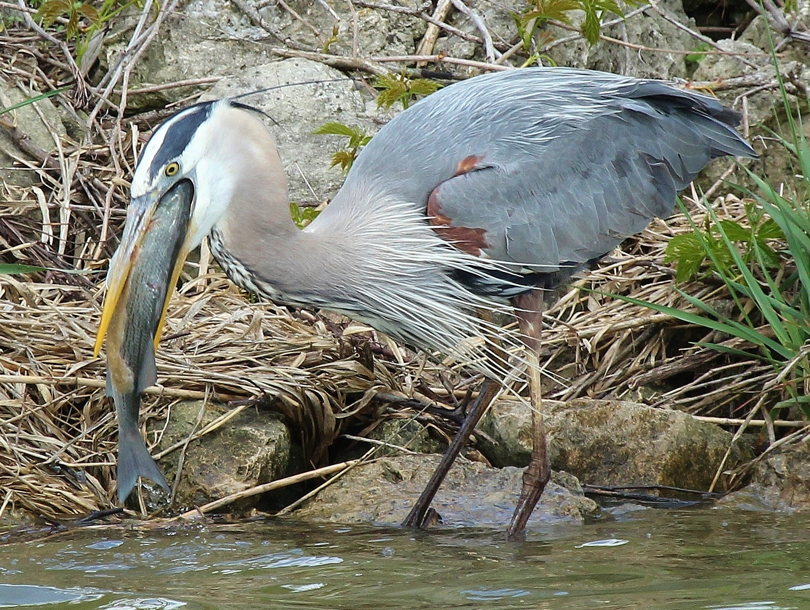 You mean that s gotta fit in here nature is my therapy for Blue heron fishing