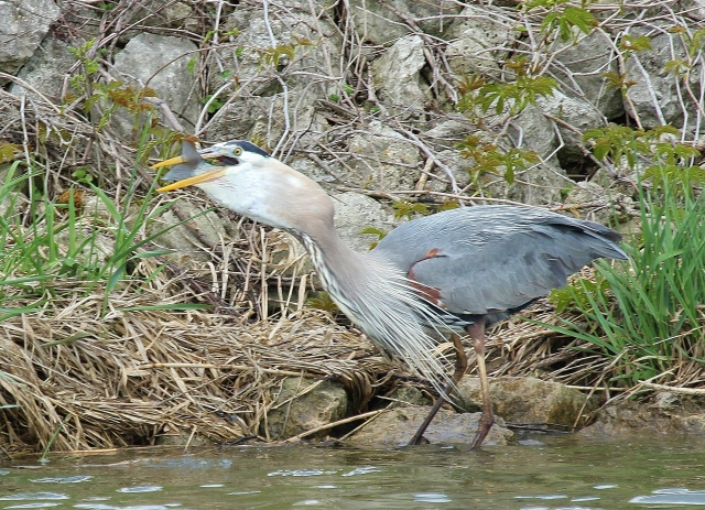 Great Blue Heron eating big fish (59)