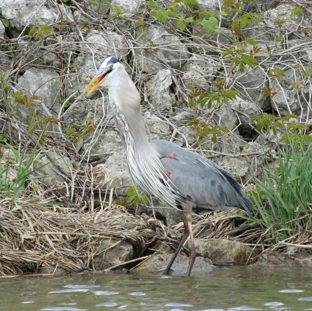 Great Blue Heron eating big fish (66)