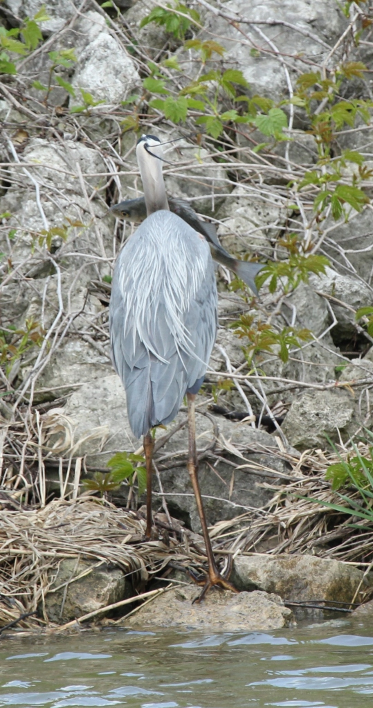 Great Blue Heron eating big fish (9)