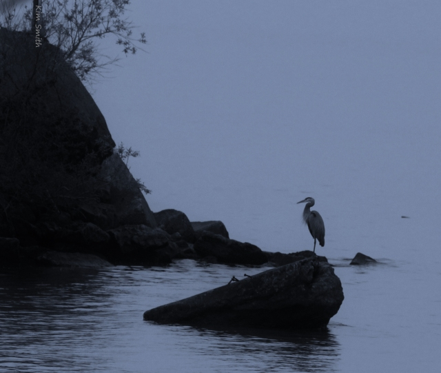 Great Blue Heron seen from the kitchen window of my rented cottage on Lake Erie