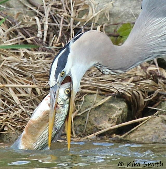 Great Blue Heron with big fish in mouth - part of series w sig