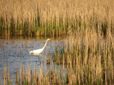 Great Egret hunting in the marsh