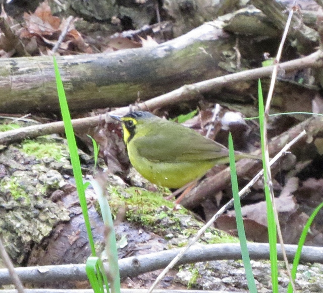 Kentucky Warbler, one of my most-wanted warblers in the past few years -- finally!
