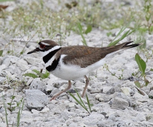 Killdeer in gravel parking lot