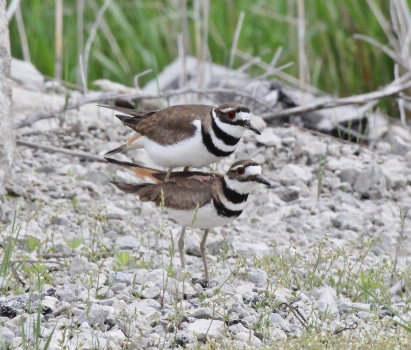 Killdeer mating sequence 4