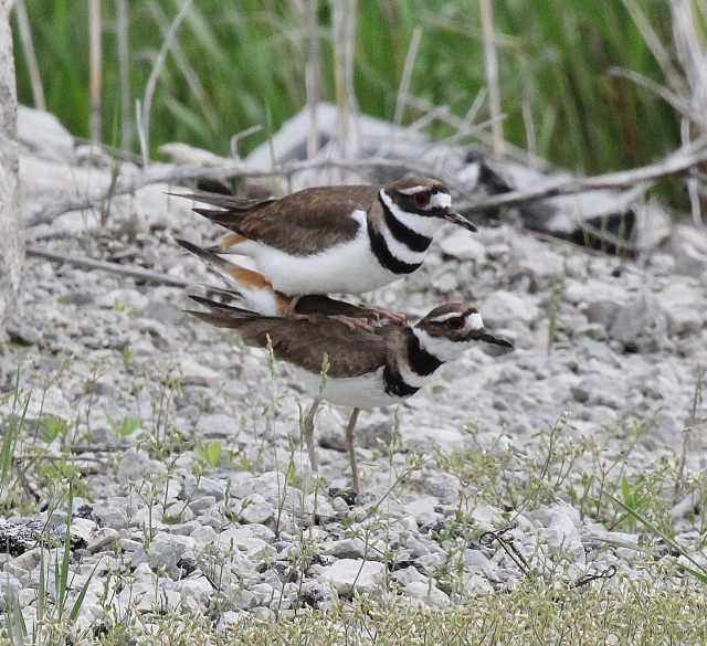 Killdeer mating sequence 6