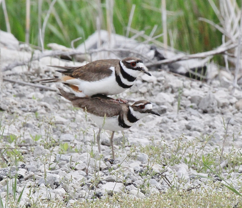 Killdeer mating sequence 7