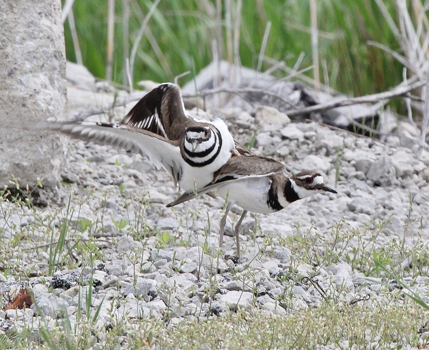Killdeer mating sequence dismount