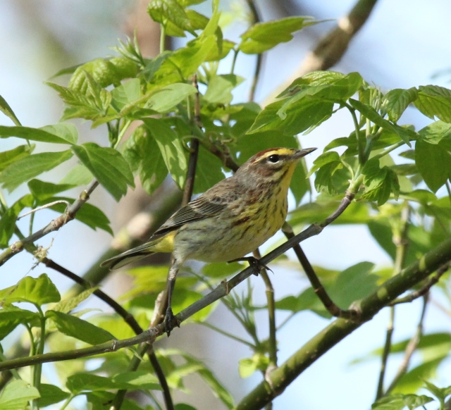Palm Warbler at Magee Marsh, May 2, 2015