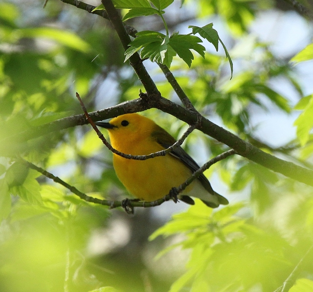 Prothonotary Warbler at Magee Marsh, May 2, 2015