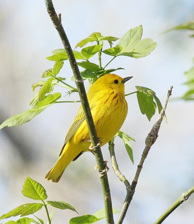 Yellow Warbler at Magee Marsh on May 2, 2015