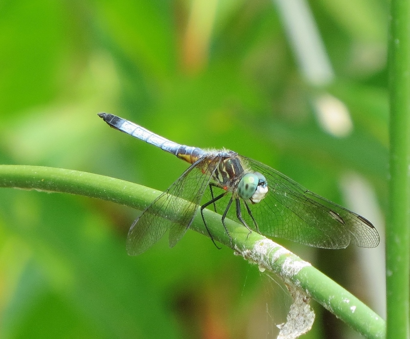 Blue Dasher with water mites