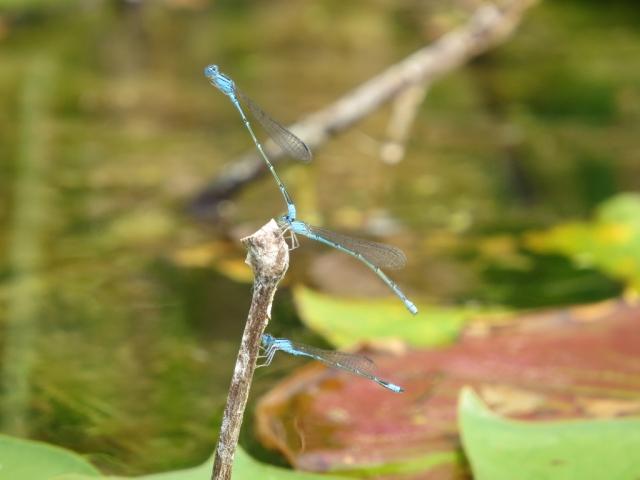 Bluets in mating tandem