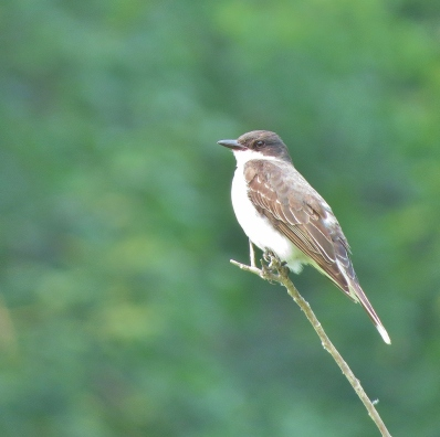 Eastern Kingbird parent taking a break