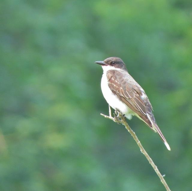 Eastern Kingbird parent taking a break