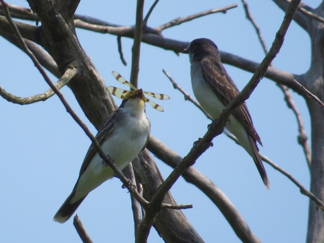 Kingbird with dragonfly