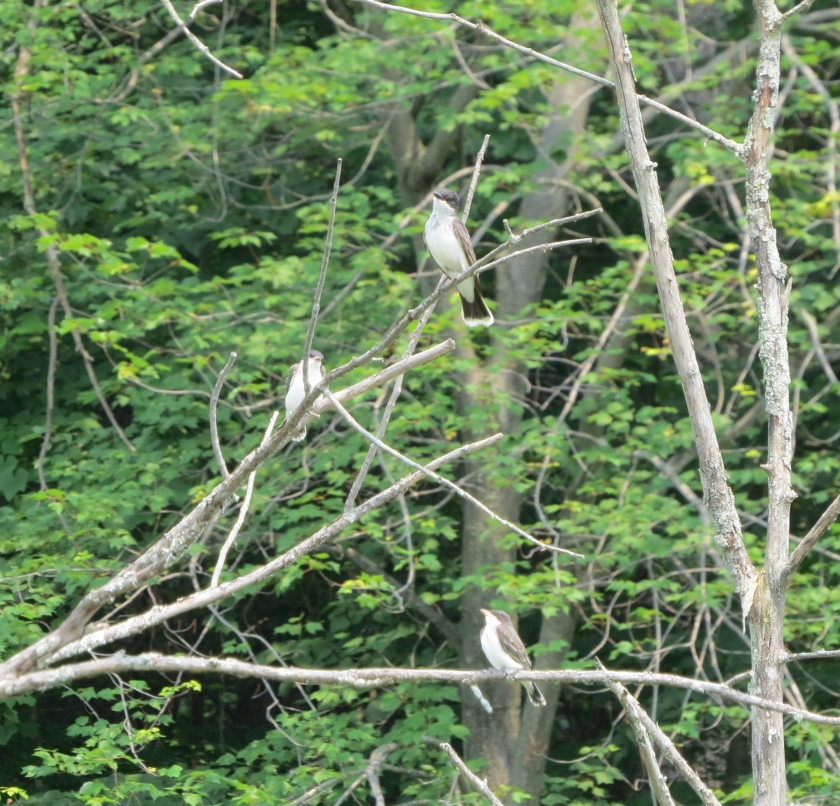 Parent kingbird with two hungry fledglings