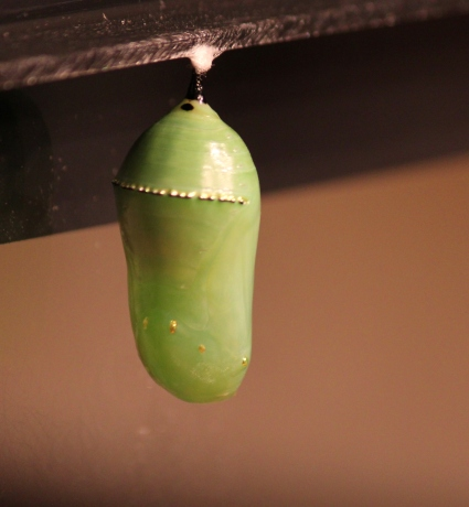Monarch chrysalis day 2