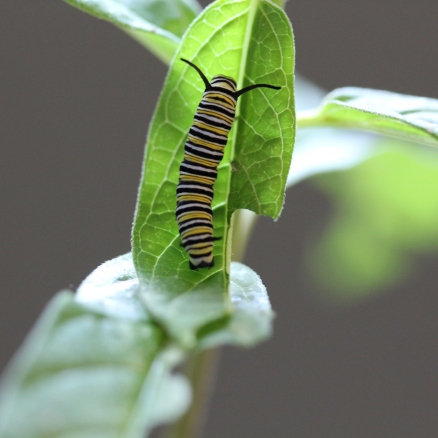 Monarch caterpillar - also in my kitchen