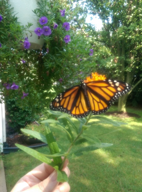 Monarch newly emerged, ready for flight