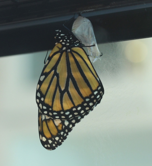 Victoria just after emerging from chrysalis (932x1024)