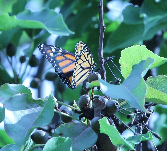 Monarch after her first flight, in a tree beside my patio