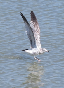 Gull taking off from water