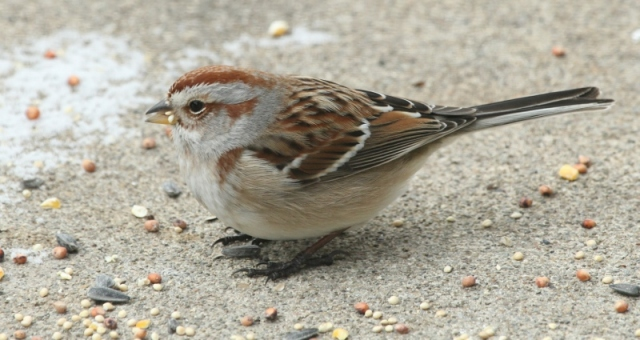 American Tree Sparrow on patio with seeds (800x425)