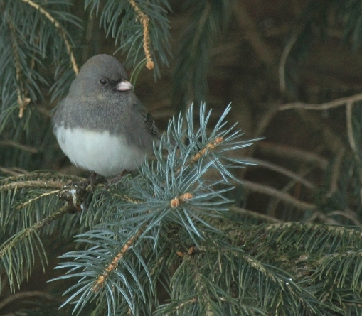 Dark-eyed Junco in spruce tree - close crop (800x700)
