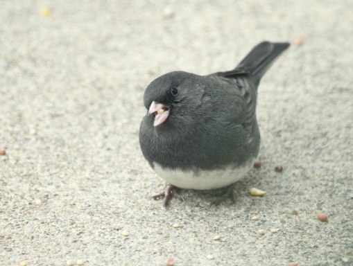 Dark-eyed Junco watching me - close up (800x604)
