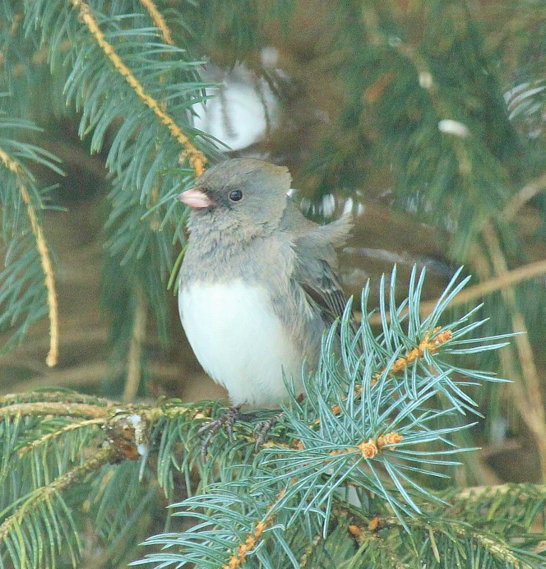 Dark-eyed Junco with wind-blown feathers (768x800)