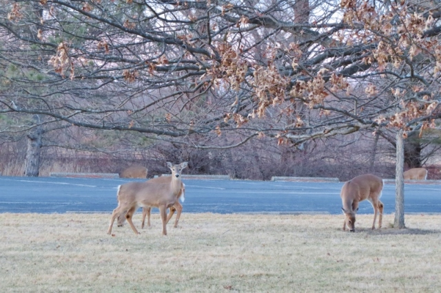 Deer at Magee Marsh Feb 23 2016 (800x533)