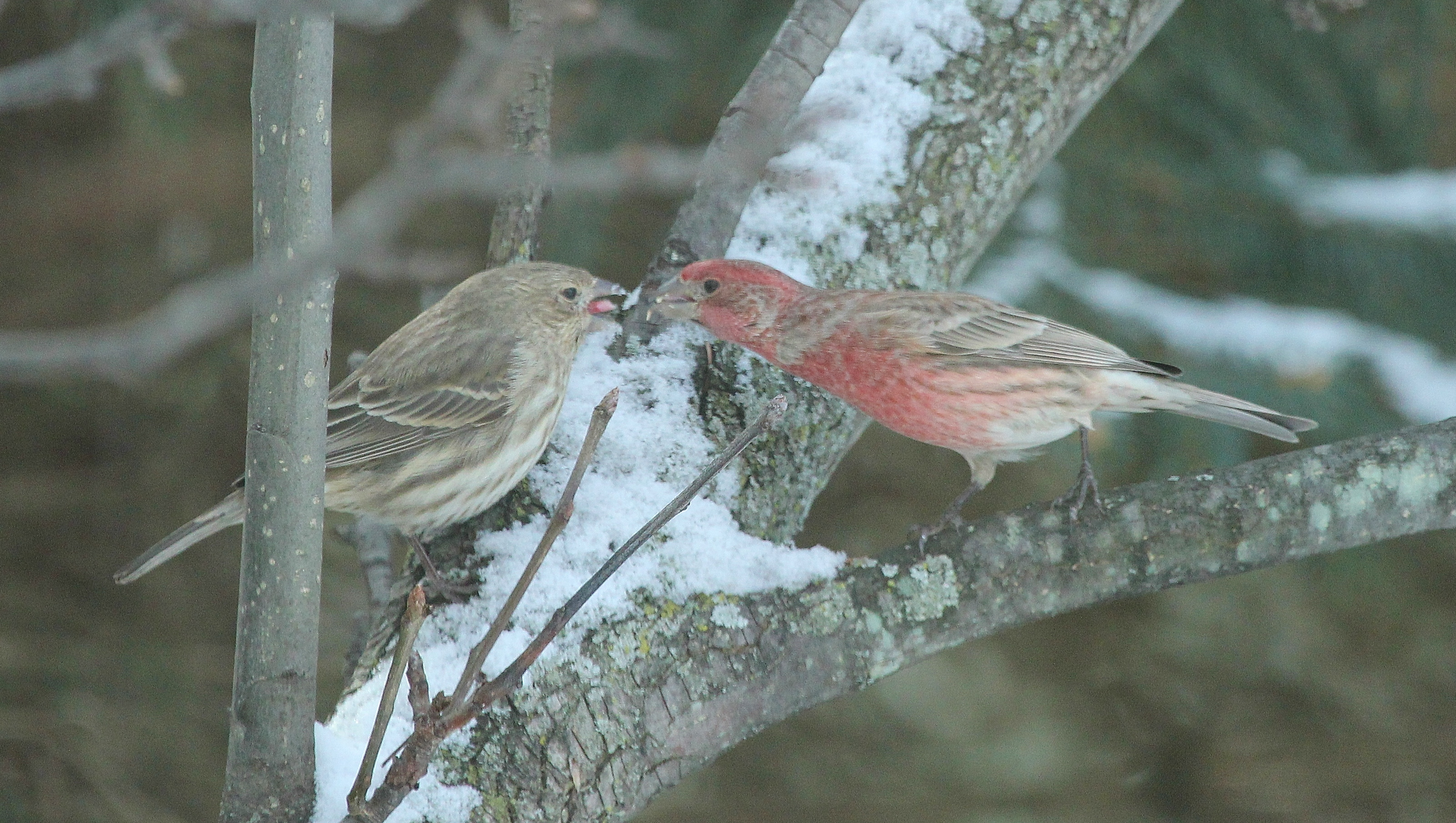 House Finches smooching on Valentine's Day